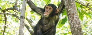 Chimpanzee Primates in Tongo Forest