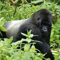 Gorilla Safari Journeys in DR Congo