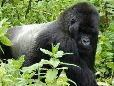 Gorilla Safari Journeys in DR Congo