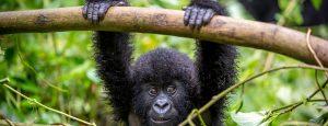 Mountain Gorillas in Virunga National Park