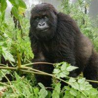 Compare Gorilla Trek In Congo & Uganda