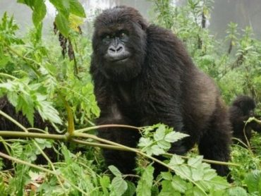 Why Visit Gorillas in Democratic Republic of Congo?