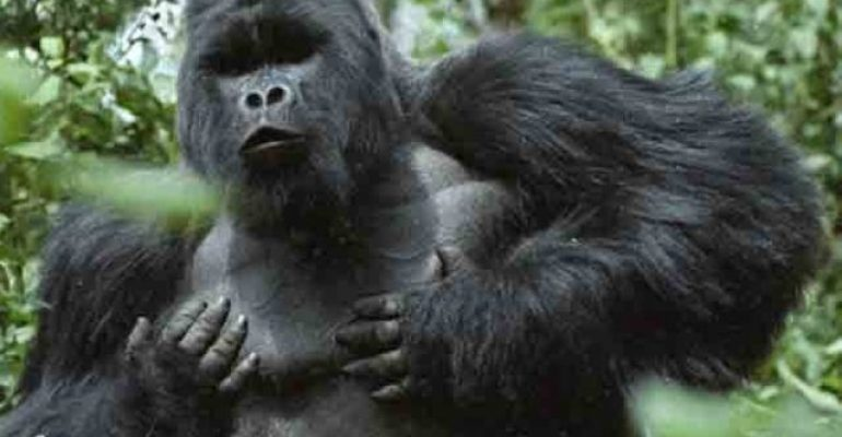 Encounter Double Gorilla Trekking in Congo