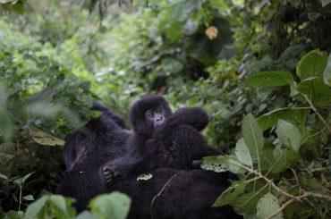 Why Visit Gorillas In Democratic Republic Of Congo