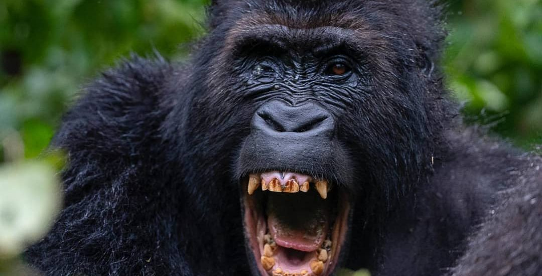Gorilla Tours in DR Congo