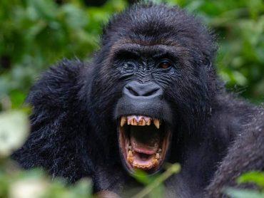 How Safe Is Gorilla Trekking Tours in Congo